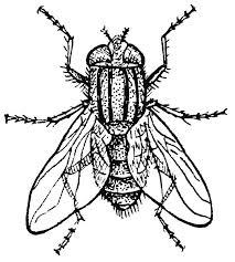mosca_insetto